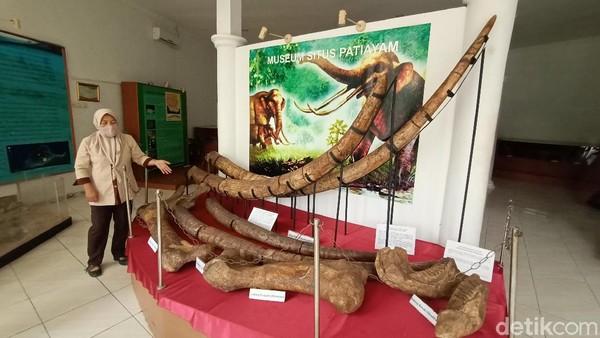 Saat ini di museum tersebut terdapat puluhan ribu fosil hewan purbakala di kawasan bukit Patiayam. Di antaranya fosil hewan gajah purba, rusa, hingga hewan laut purbakala. (Dian Utoro Aji/detikTravel)