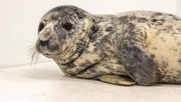 Ini Eloise, bayi anjing laut yang ditemukan Delware pada 12 Februari. Kini, dia berada di Aquarium Nasional Theresia Keil Baltimore. (Theresia Keil National Aquarium)