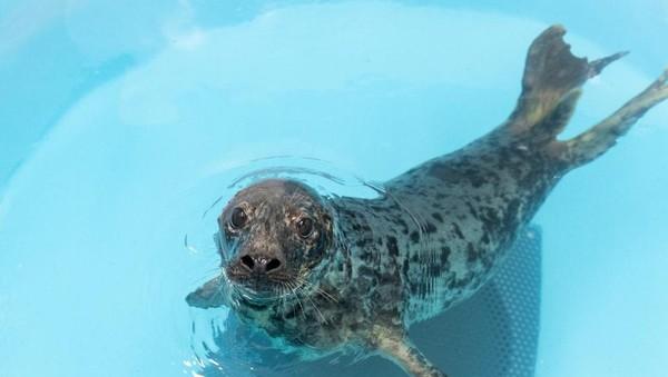 Aquarium Nasional sebelumnya juga menyelamatkan anjing laut yang dinamai Pippy di Pantai Dewey, Delware. (Theresia Keil National Aquarium)
