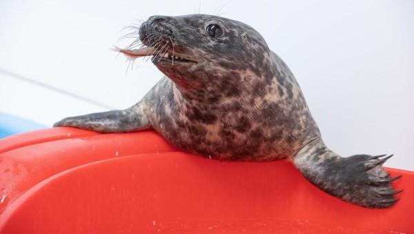 Tapi, Pippy sudah sehat kembali dan telah dilepaskan pada 11 November lalu.(Theresia Keil National Aquarium)