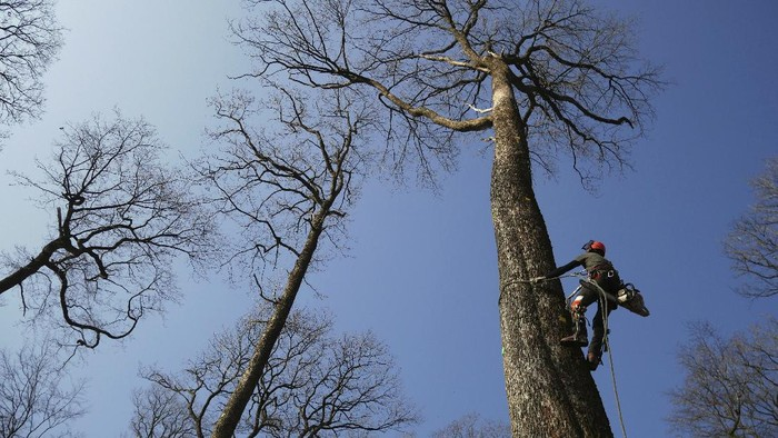 A forest worker climbs an oak in the Forest of Berce in the Loire region, Tuesday, March 9, 2021. In a former royal forest in France, four 200-year-old oaks are being felled for wood to reconstruct Notre Dame cathedral's fallen spire. (AP Photo/Thibault Camus)