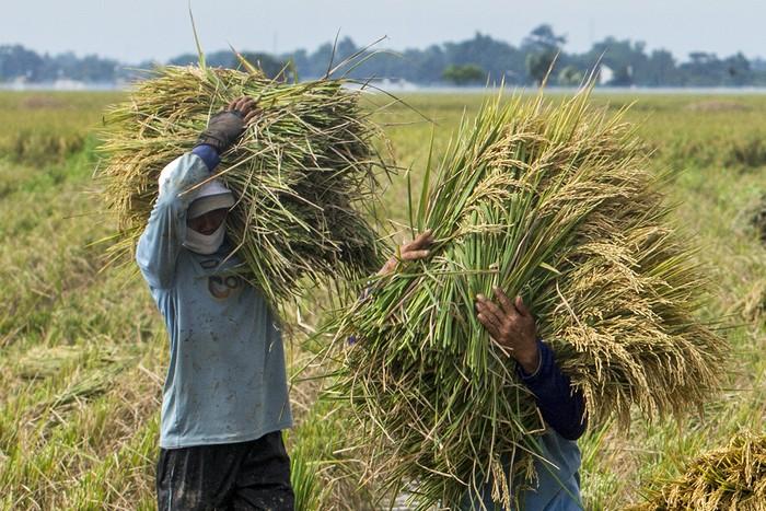 Buruh tani membawa padi hasil panen di areal persawahan Desa Nagasari, Karawang, Jawa Barat, Selasa (9/3/2021). Badan Pusat Statistik (BPS) menyebutkan adanya potensi peningkatan produksi padi periode