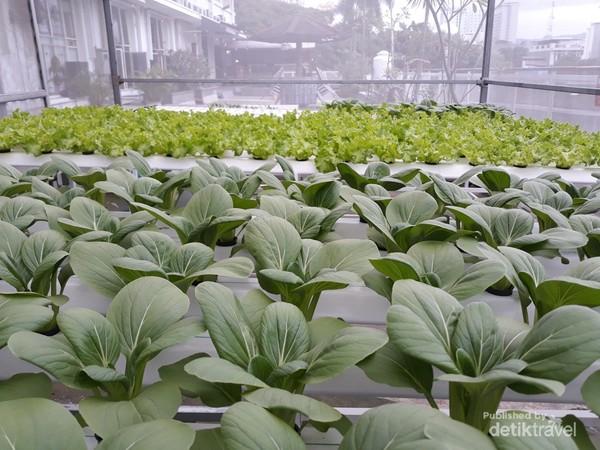 Pakcoy dan Selada adalah dua jenis sayuran yang ditanam di sini