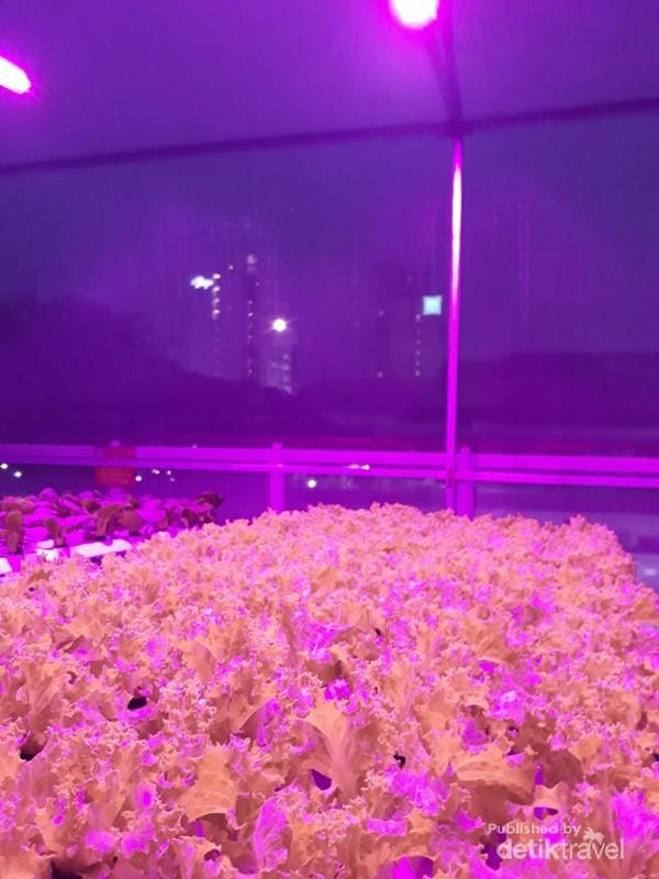 Lampu UV membantu mempercepat proses pertumbuhan sayuran hingga dapat dipanen lebih cepat