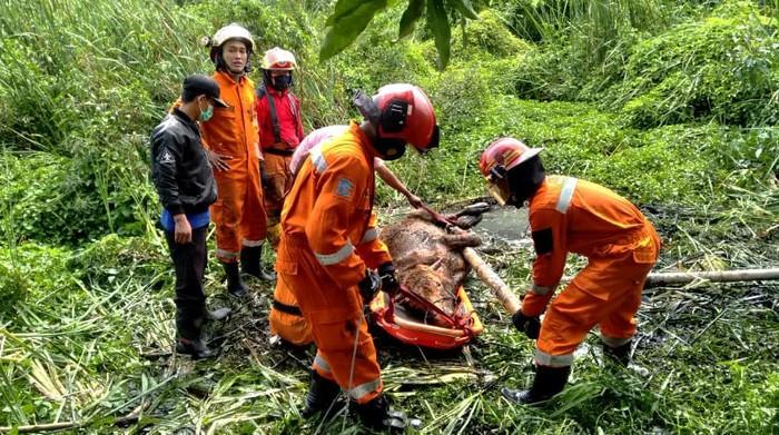 Seekor sapi limousin terperosok di kubangan rawa di Medokan Ayu, Rungkut. Butuh waktu hampir 1 jam untuk evakuasi sapi dengan berat 300 kg itu.