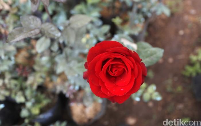 Warna warni mawar yang rupawan di Desa Gunungsari Kecamatan Bumiaji Kabupaten Malang tak seindah bisnis mawar di kala pandemi.