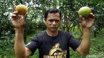 Manisnya Panen Jeruk Beromzet Milyaran di Desa Selorejo Malang
