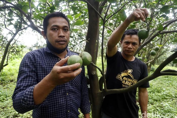 Jika Anda berkesempatan pergi ke Malang, pastikan untuk mampir ke wisata petik jeruk di Desa Selorejo, Kecamatan Dau.
