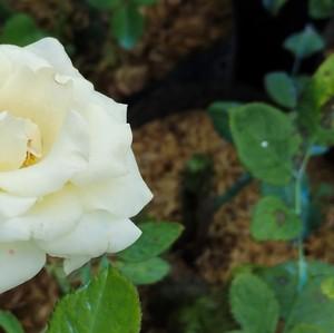Duhai Sayang, Tak Semua Mawar itu Berduri