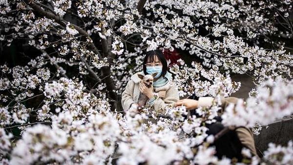 Potret seorang warga yang berfoto bersama hewan peliharaannya di antara bunga-bunga sakura yang bermekaran di kawasan Universitas Wuhan, China.