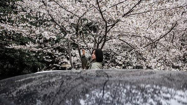 Cantiknya bunga sakura yang bermekaran di Universitas Wuhan membuat kawasan tersebut jadi salah satu destinasi andalan warga sekitar yang hendak melihat bunga sakura bermekaran.