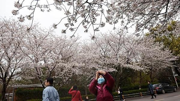 Seorang warga mengabadikan bunga sakura yang mulai bermekaran di Universitas Wuhan, China.