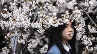 Cantiknya Bunga Sakura Bermekaran di Wuhan Saat Musim Semi Tiba
