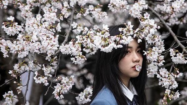 Momen bermekarannya bunga-bunga sakura di Universitas Wuhan jadi salah satu daya tarik wisata di kawasan tersebut.