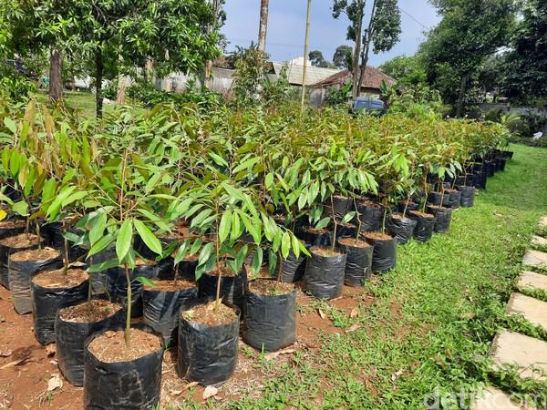 Selain menjadi penghasil durian, kawasan desa ini juga dikemas untuk menyambut wisatawan yang ingin melihat langsung lokasi perkebunan durian.