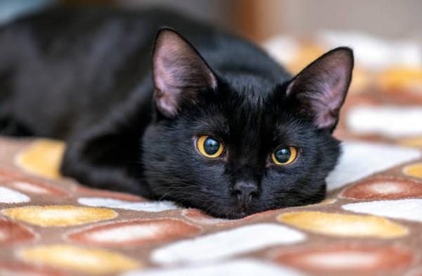 Gen kucing rumahan sama dengan gen harimau. Kesamaannya mendekati 94,6 persen! (Caroline Simon-Provo/Metro)