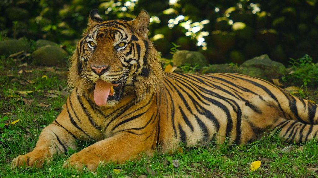 Potret Harimau hingga Buaya Saat Ragunan Kembali Dibuka untuk Umum