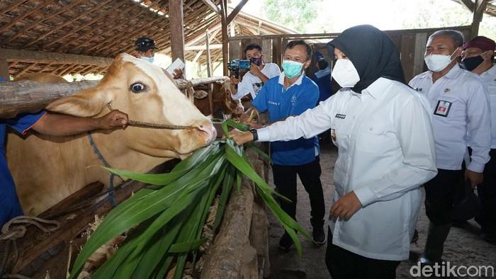 Dinas Pertanian dan Pangan Banyuwangi membuka pelayanan kesehatan keliling untuk hewan ternak. Secara rutin, tim dokter hewan dan tenaga kesehatan dari pusat kesehatan hewan (Puskeswan) berkeliling ke berbagai wilayah, untuk memberikan layanan pemeriksaan kesehatan gratis kepada hewan ternak milik warga.