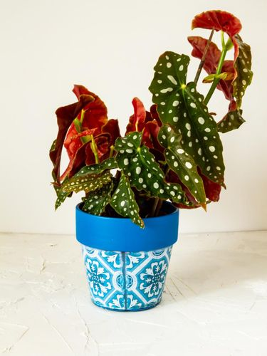 Begonia maculata. Plant in blue pot. White background.