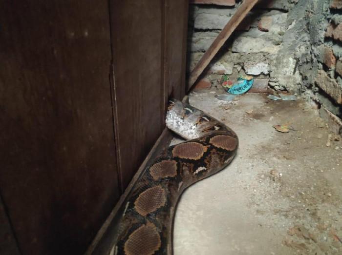 Saat hari masih pagi, warga di Jalan Simo Kalangan No 191, Kelurahan Simomulyo, Kecamatan Sukomanunggal sudah dibuat heboh oleh ular sanca. Ular tersebut sepanjang 4 meter.