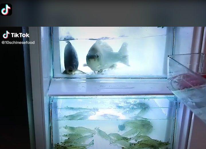 simpan ikan dan udang hidup di dalam kulkas seperti dalam akuarium