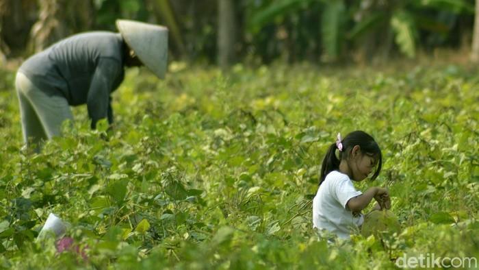 Aktivitas Petani dan anaknya di ladang kacang.