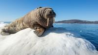Sekelompok Turis Kedatangan Tamu Tak Diundang, Seekor Walrus Raksasa!
