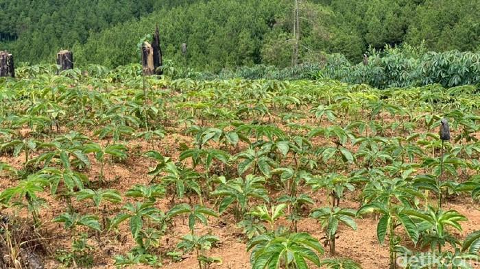 Fenomena petani beralih menanam porang menjadi sorotan Dinas Pertanian Ketahanan Pangan dan Perikanan (Dipertahankan) Ponorogo. Dinas melihat potensi penjualan bibit porang atau katak yang bisa meningkatkan perekonomian petani.