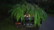 Pembalak Liar di Hutan Bali Ditangkap, Modus Tutupi Kayu Curian dengan Rumput