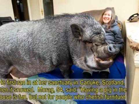Wanita pelihara babi