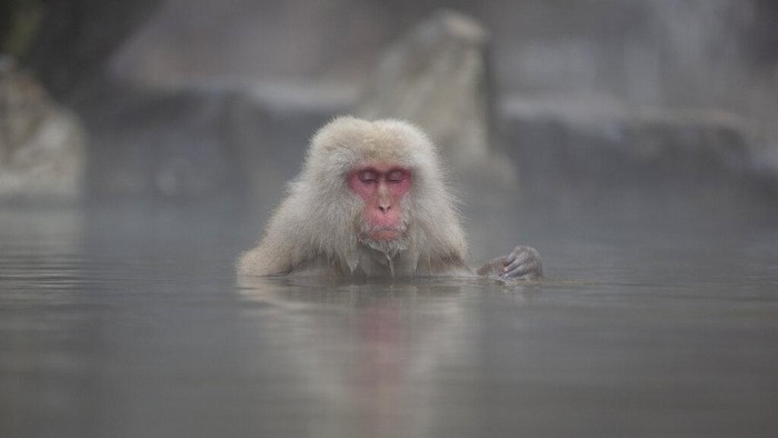 A Japanese macaque, also known as a snow monkeys, grooms another in Jigokudani valley in Nagano Prefecture, northwest of Tokyo Saturday, March 6, 2021. (AP Photo/Kiichiro Sato)