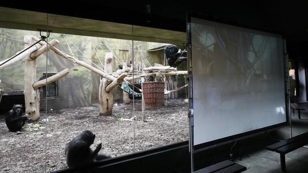 Taman Safari di Dvur Kralove, Republik Ceko memasang layar besar di kandang simpanse. (Peter David Josek/AP)