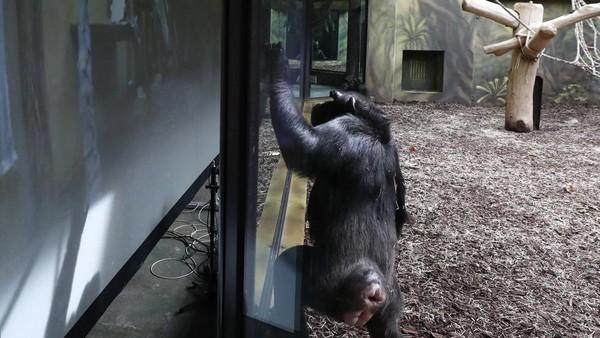 Semenjak pandemi, simpanse kesepian dan bosan. Para staf kebun binatang juga berusaha mengunjungi mereka lebih sering. (Peter David Josek/AP)