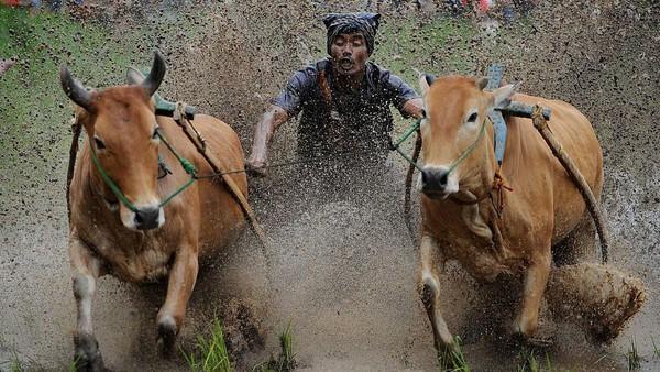 Menurut sejarahnya Pacu Jawi awalnya adalah acara hiburan bagi para petani usai masa panen untuk mengisi waktu luang sekaligus menjadi sarana hiburan bagi masyarakat setempat.