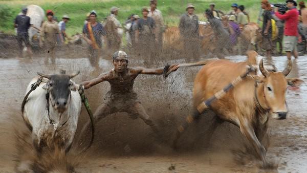 Pacu Jawi sama halnya dengan Karapan Sapi di Madura namun tidak sama. Perbedaan paling mencolok dari Pacu Jawi di Tanah Datar dengan Karapan Sapi Madura adalah lahan yang digunakan. Kalau Karapan Sapi menggunakan tanah datar sebagai arena, sedangkan Pacu Jawi menggunakan area sawah yang sudah basah.