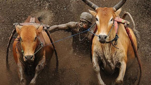 Pacu Jawi menggunakan sepasang sapi yang telah terpasang alat bajak pacu yang terbuat dari bambu sebagai alat berpijak bagi sang joki.