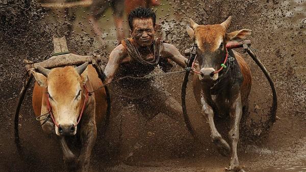 Setelah sang joki dan sapinya siap maka sapi dikagetkan dengan berbagai cara, ada yang berteriak, ada yang menepuk bagian belakang sapi ada juga yang menggigit ekor sapi supaya sapi berlari dengan kencang. Ketika sapi mulai berlari dilahan yang basah maka cipratan lumpur berterbangan, para penonton bersorak sorai dan para fotografer dengan senang hati mengabadikan momen tersebut.