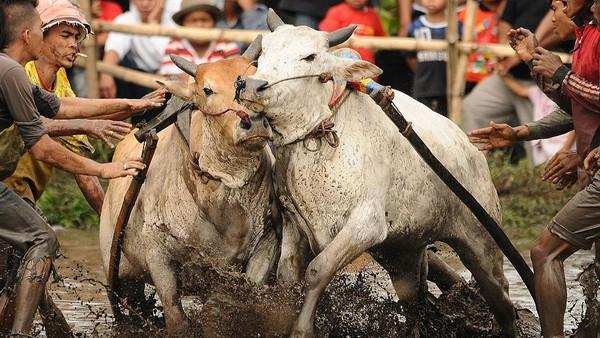 Meski pacu berarti lomba kecepatan namun yang menjadi pemenang bukanlah siapa yang tercepat tetapi yang bisa berlari lurus.Teknis penentuan pemenang ini mengandung filosofi bahwa sapi saja harus berjalan lurus apalagi manusia. Dan manusia yang bisa berjalan lurus tentu akan tinggi nilainya, dialah yang menjadi pemenang.