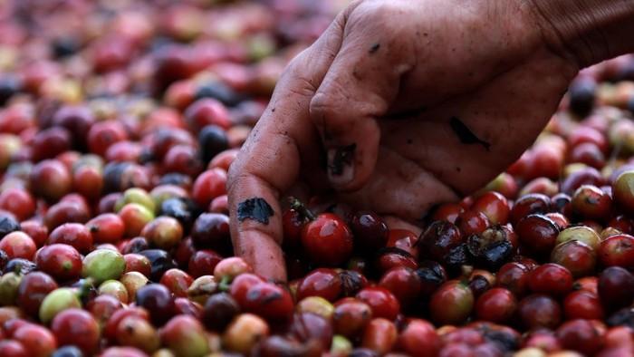 Petani memanen kopi arabika Gayo di Takengon, Aceh Tengah, Aceh.