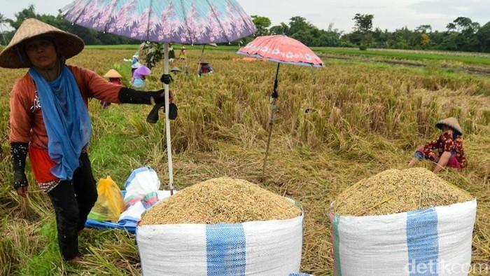 Petani di Banyuwangi tidak setuju dengan rencana pemerintah impor beras. Kebijakan tersebut dinilai sama dengan membunuh petani secara perlahan, karena harga gabah akan semakin rendah.