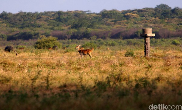 Taman nasional ini punya hamparan savana yang sangat luas. Karena itulah dia dijuluki Africa van Java. (Dedy Istanto)
