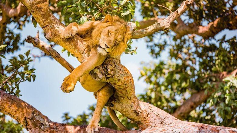 Singa di Taman Nasional Ratu Elizabeth, Uganda.