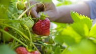 Ini Daftar Sayur dan Buah yang Paling Banyak Mengandung Pestisida