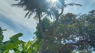 Pohon Kelapa Bercabang 9 di Jepara Konon Pernah Ditawar Puluhan Juta