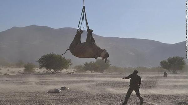 Memindahkan badak juga membantu memastikan kumpulan gen yang beragam. Dan badak masih diburu oleh para pemburu, yang mengincar cula mereka sebagai bahan pengobatan tradisional Tiongkok, perhiasan dan ukiran hias.
