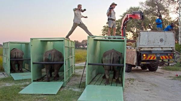 Sebagian besar translokasi badak dilakukan dengan truk, tetapi beberapa lokasi terpencil tidak dapat dijangkaunya.