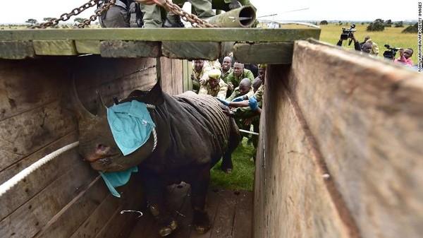 Pengangkutan badak di Afrika