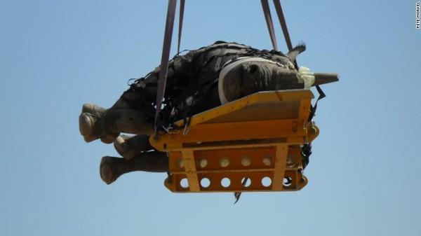 Ketika badak diangkat dalam posisi berbaring, tandu menambah bobot tambahan, dan prosesnya memakan waktu lebih lama.