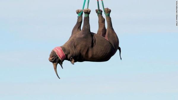 Ternyata, beginilah cara terbaik mengangkut badak di Afrika. Hewan-hewan terancam punah karena pemburu ini diangkat terbalik menggunakan helikopter.