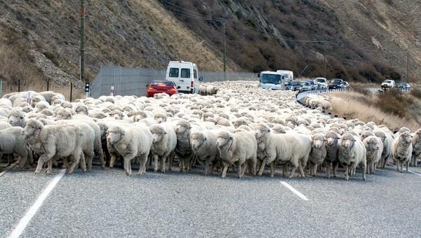 Jumlah penduduk New Zealand sekitar 4,4 juta penduduk. Menurut sensus Statista per 2019, ada 26,71 juta domba yang hidup di sana. (Getty Images/iStockphoto)